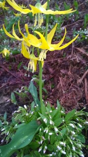 snow lake flower