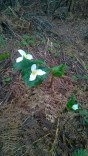 snow lake lily